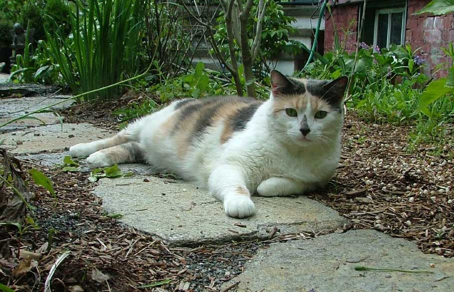 Missing Calico Cat. Tabitha. 413-306-4455.